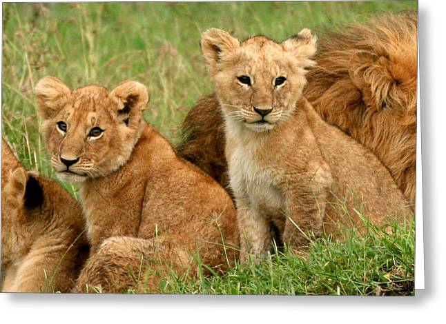 Lion Greeting Cards - Lion Cubs - Too Cute Greeting Card by Nancy D Hall