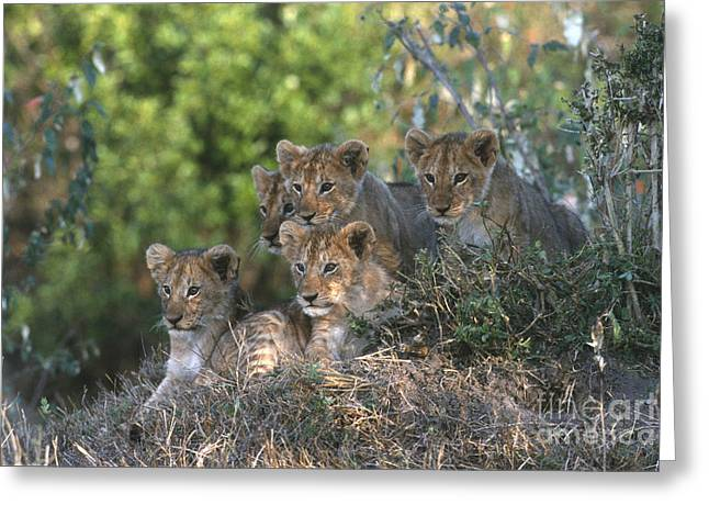 Lion Cubs Awaiting Mom Greeting Card by Sandra Bronstein