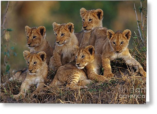 Science Collection - Greeting Cards - Lion Cubs Greeting Card by Joe McDonald and Photo Researchers