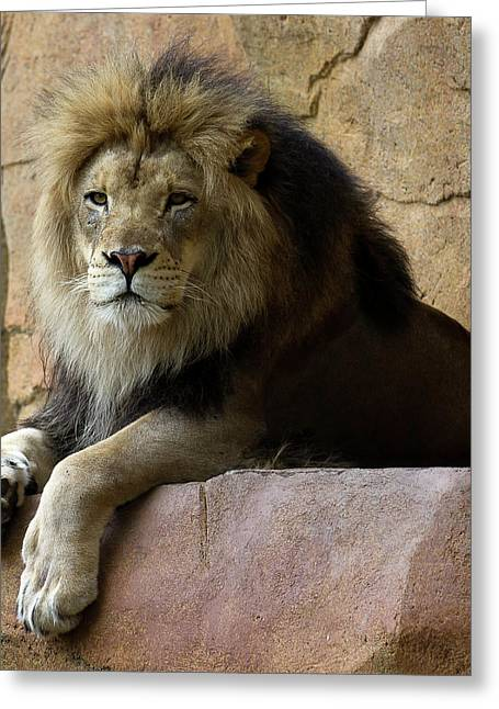 Cat Photographs Greeting Cards - Lion Greeting Card by D Plinth