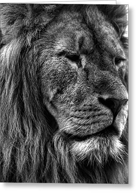 Lions Greeting Cards - Lion Portrait Greeting Card by Martin Newman
