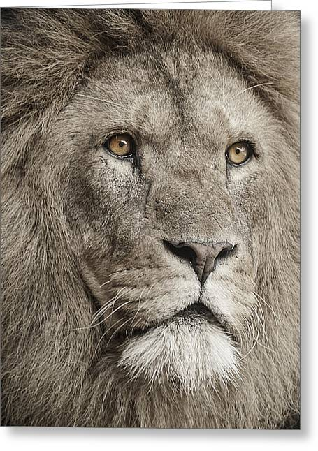 Lions Photographs Greeting Cards - Lion portrait Greeting Card by Paul Neville