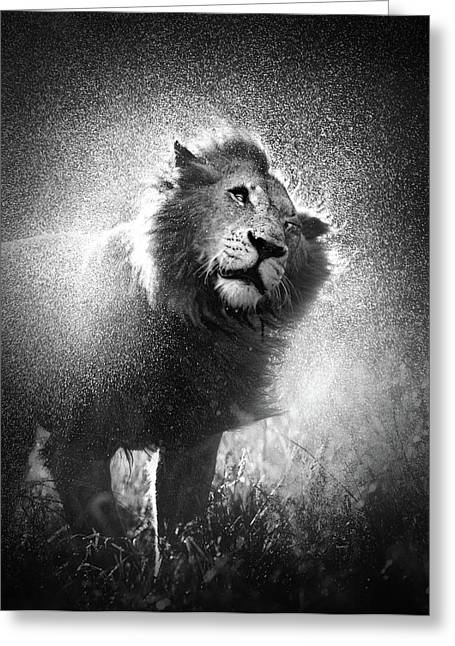 White Fur Greeting Cards - Lion shaking off water Greeting Card by Johan Swanepoel