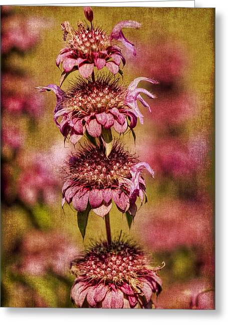 Paint Photograph Greeting Cards - Lion tail flower Greeting Card by Geraldine Scull