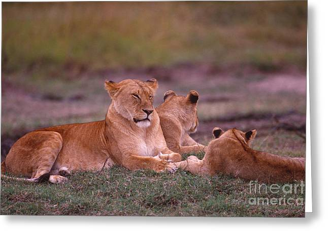 Lioness Greeting Cards - Lion with her cubs Greeting Card by Legacy Images