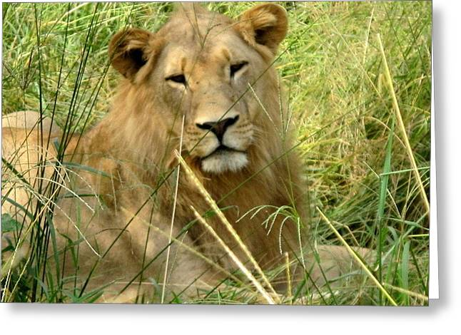 Lioness Greeting Cards - Young Lion Greeting Card by Cindy Kellogg