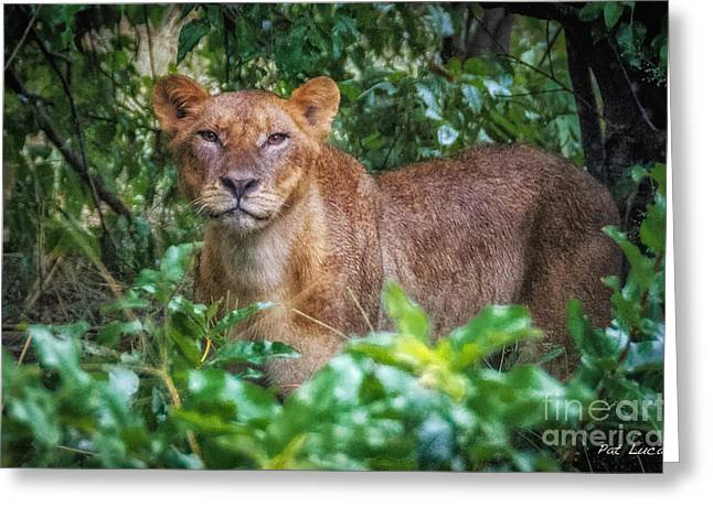 Lioness 2 Greeting Card by Pat Lucas