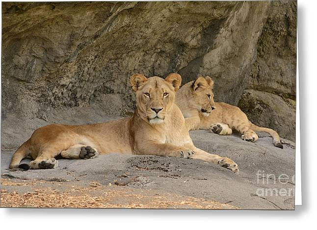 Lions Greeting Cards - Female Lion and Cub Greeting Card by Marv Vandehey