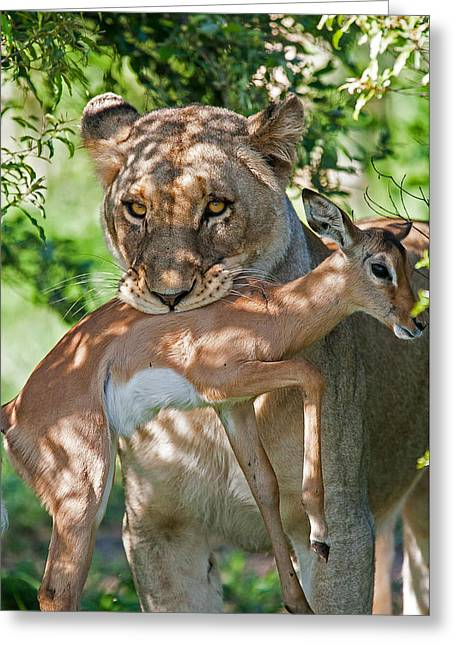 Lioness Greeting Cards - Lioness and Fawn Greeting Card by Tom Coetzee