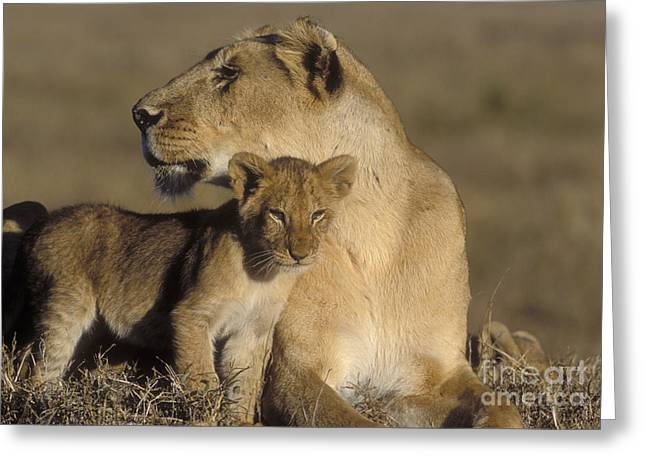 Lioness Greeting Cards - Lioness And Her Cub  Greeting Card by Sandra Bronstein