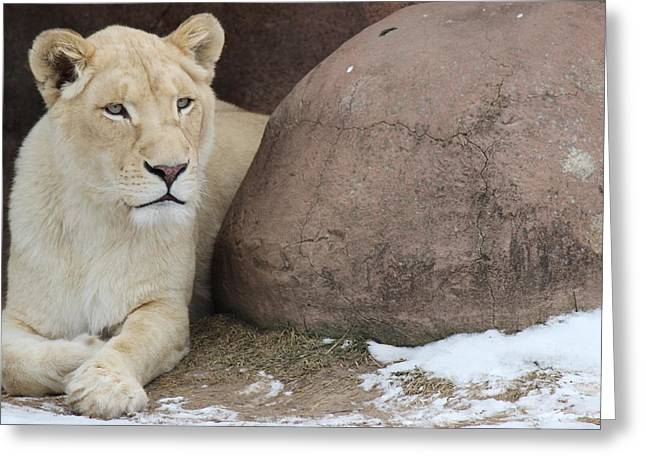 Recently Sold -  - Lioness Greeting Cards - Lioness at rest Greeting Card by Isadora Joseph