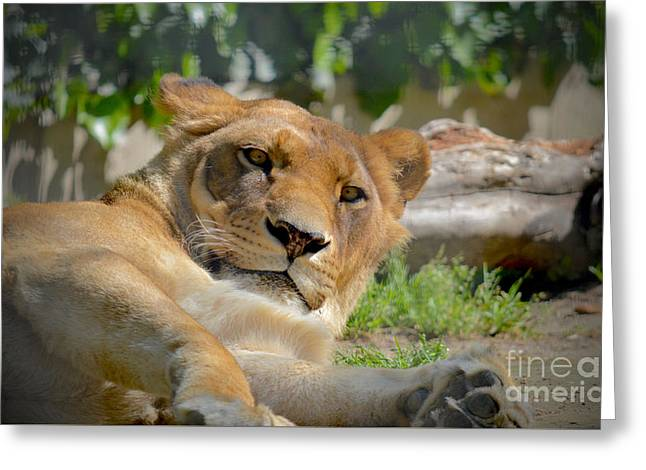 Lioness Greeting Cards - Lioness at Rest Greeting Card by Photos By Zulma