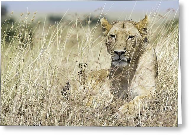 Lioness Greeting Cards - Lioness Greeting Card by Barry Aldridge