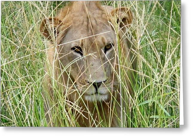 Lioness Greeting Cards - Young Lion 2 Greeting Card by Cindy Kellogg