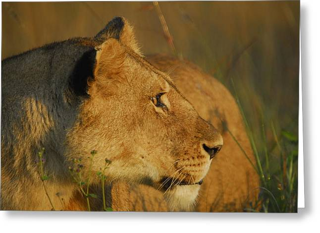 Lioness Profile Greeting Card by Owen Ashurst