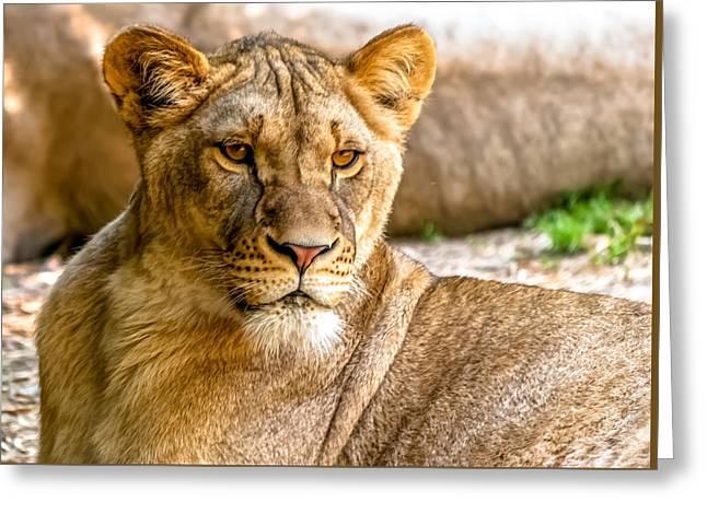 Lioness Greeting Cards - Lioness Greeting Card by Wayne King