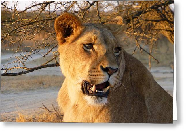 Lioness Zimbabwe Greeting Card by Nicole Phillips