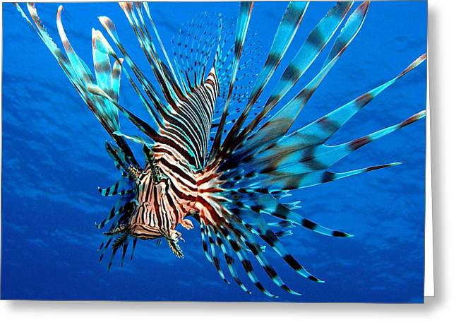 Snorkel Greeting Cards - Lionfish Greeting Card by Brent Barnes
