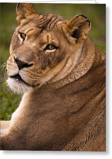 Decent Greeting Cards - Lions Beauty Greeting Card by Chad Davis