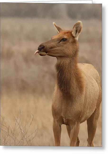 Tule Elks Greeting Cards - Lip Licking Tule Elk Merced County CA Greeting Card by Troy Montemayor