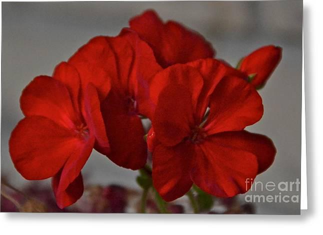 Red Geraniums Greeting Cards - Lipstick Red Greeting Card by Carol  Bradley