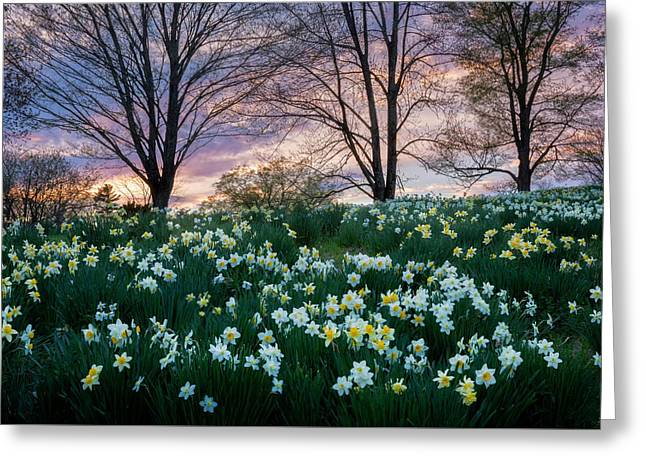 Daffodil Greeting Cards - Litchfield Connecticut Daffodils Greeting Card by Bill Wakeley