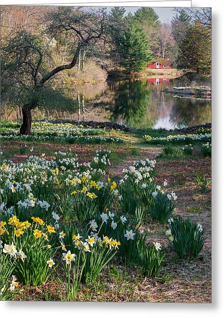 Daffodil Greeting Cards - Litchfield Daffodills Cabin Square Greeting Card by Bill Wakeley