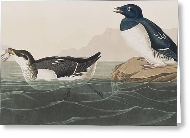 Little Auk Greeting Card by John James Audubon