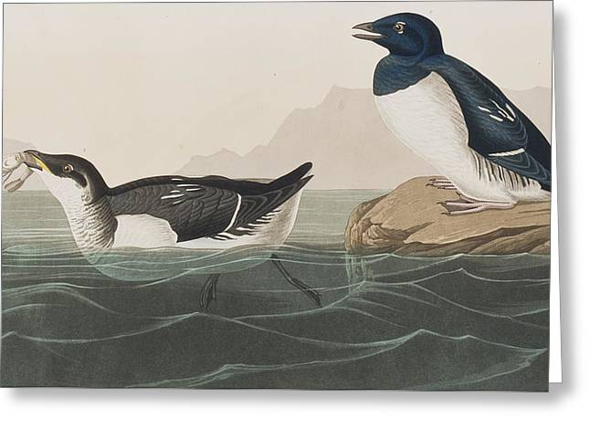 Little Drawings Greeting Cards - Little Auk Greeting Card by John James Audubon