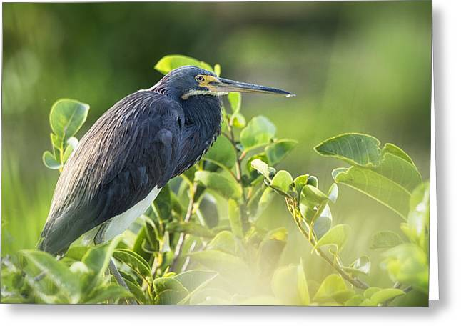 Tri Colored Greeting Cards - Tri-colored Heron  Greeting Card by Saija  Lehtonen