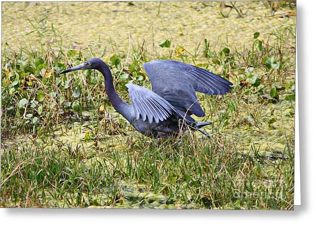 Florida Marsh Greeting Cards - Little Blue Heron Walking in the Swamp Greeting Card by Carol Groenen