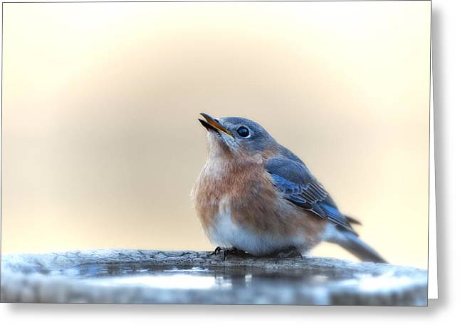 Eastern Bluebird Greeting Cards - Little Bluebird in Morning Light Greeting Card by Bonnie Barry