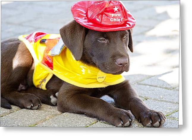 Chocolate Lab Greeting Cards - Little Chief lab pup Greeting Card by Toni Hopper