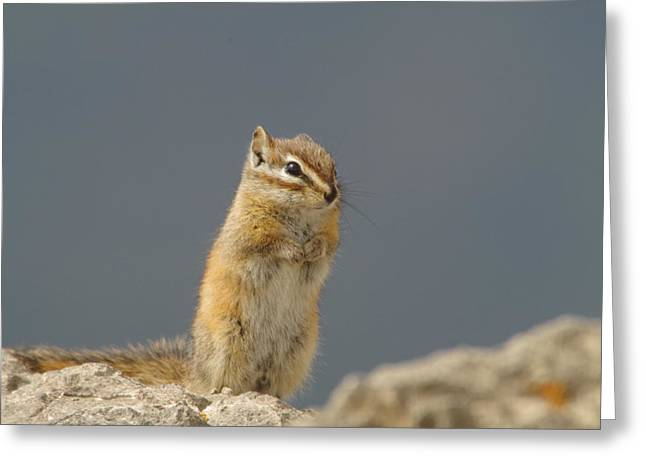 Little Critters Greeting Cards - Little chipmunk Greeting Card by Jeff  Swan