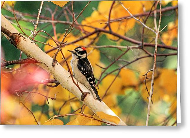 """""""downy Woodpecker"""" Greeting Cards - Little Downy In Autumn Greeting Card by Donna Kennedy"""