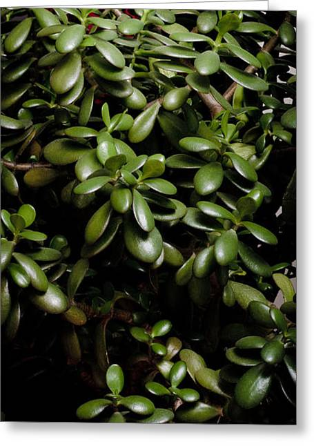 Flowering Greeting Cards - LITTLE FLOWER Jade plant friendship tree money plant Greeting Card by Andy Smy
