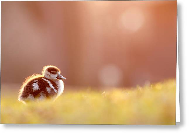Baby Bird Greeting Cards - Little Furry Animal - Gosling in warm light Greeting Card by Roeselien Raimond