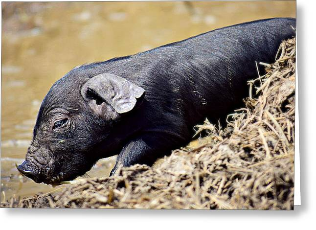 Piglets Greeting Cards - Little Guy with the Big Heart Greeting Card by Soul Full Sanctuary Photography By Tania Richley
