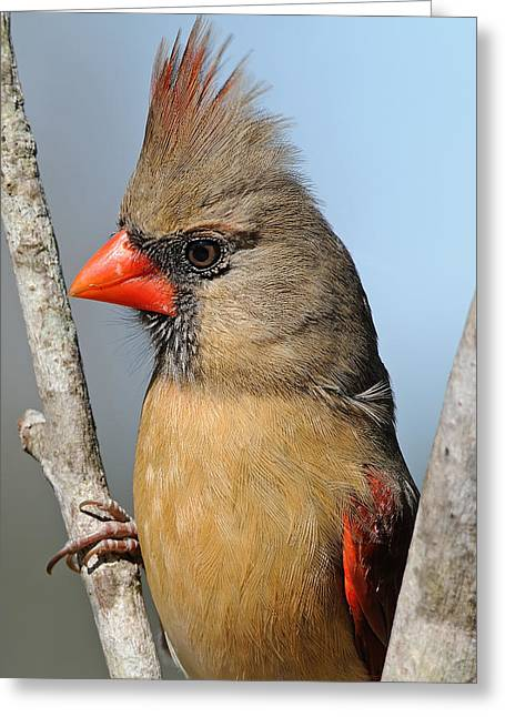 Female Northern Cardinal Greeting Cards - Little Lady Cardinal Greeting Card by Bonnie Barry