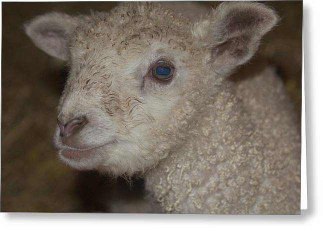 Sheep Greeting Cards - Little Lamb Greeting Card by  The Art Of Marilyn Ridoutt-Greene