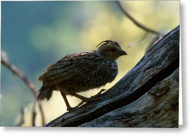 Little One - Ventana Wilderness Greeting Card by Soli Deo Gloria Wilderness And Wildlife Photography