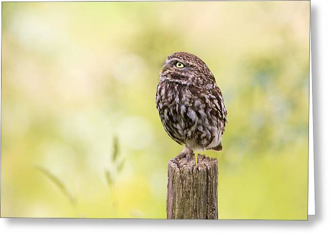 Little Owl Looking Up Greeting Card by Roeselien Raimond