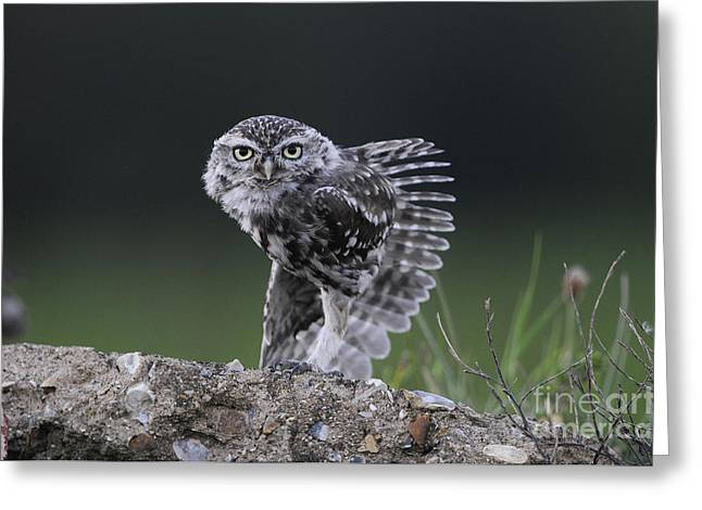 Little Owl Stretching Greeting Card by Richard Brooks/FLPA