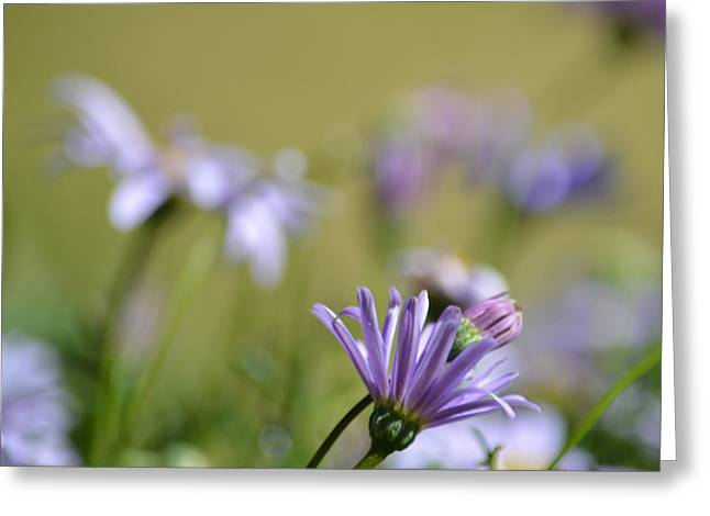 Purple Aster Greeting Cards - Little purple petals Greeting Card by Sharon Lisa Clarke