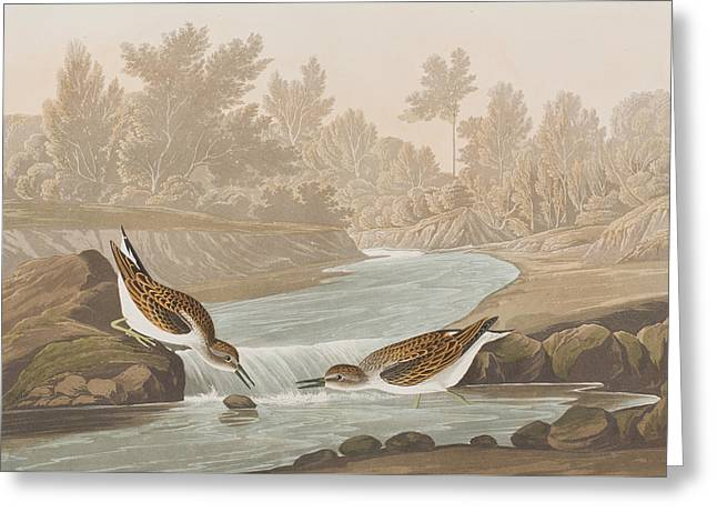 Sandpiper Greeting Cards - Little Sandpiper Greeting Card by John James Audubon