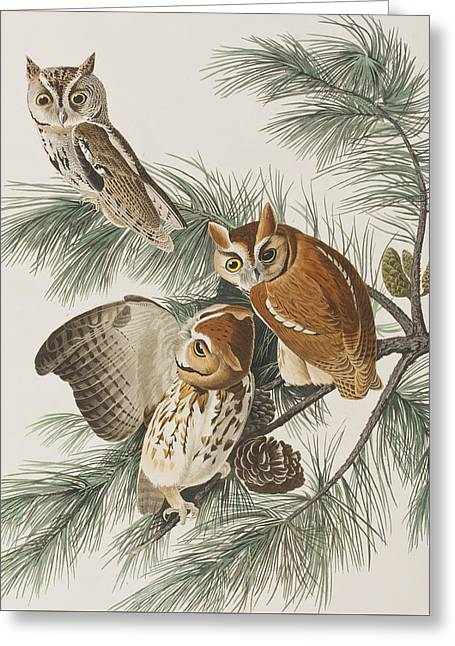 Colored Owls Greeting Cards - Little Screech Owl  Greeting Card by John James Audubon