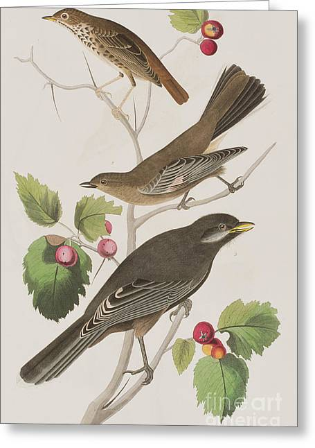 Thrush Greeting Cards - Little Tawny Thrush and Canada Jay Greeting Card by John James Audubon