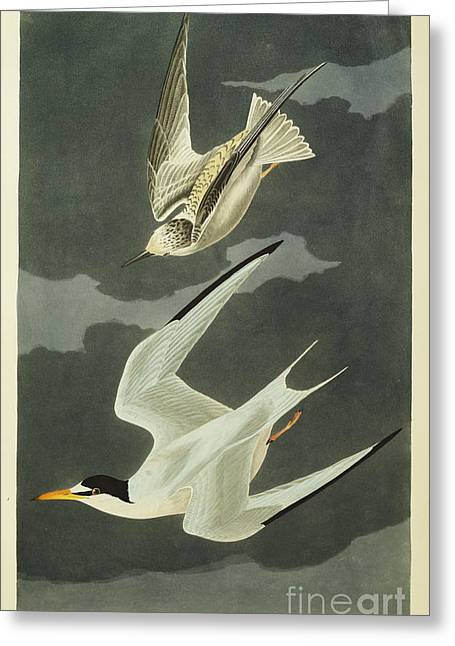 Flight Drawings Greeting Cards - Little Tern Greeting Card by John James Audubon