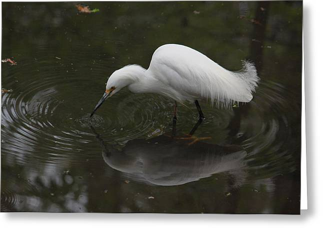 Little Critters Greeting Cards - Little White Egret III Greeting Card by Suzanne Gaff