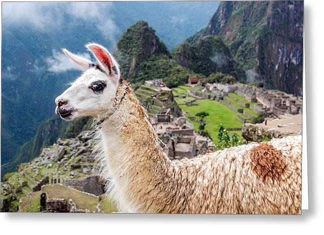 Llama At Machu Picchu Greeting Card by Jess Kraft